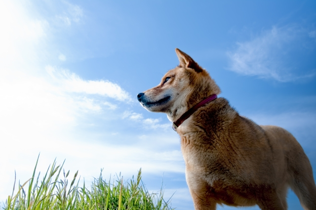 台東区の柴犬