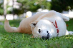 渋谷区の柴犬をペット葬儀